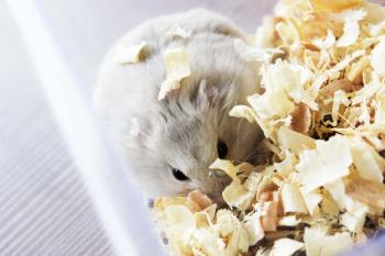 A hamster in wood shavings