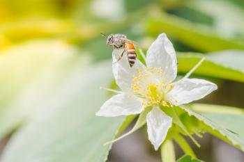 A honey bee with flower