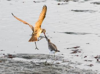 A marbled godwit and willet do battle