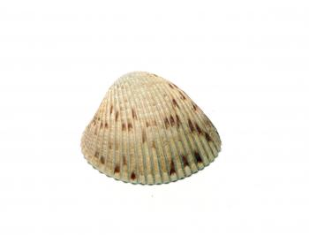 A sea shell isolated on white