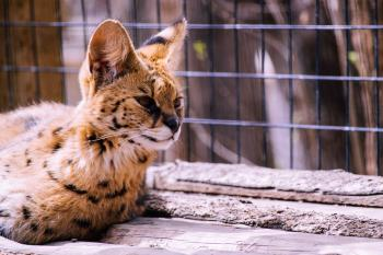 A small lynx with big ears lies near the enclosure in the zoo