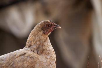 A suspicious looking chicken