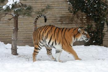 Adult Tiger