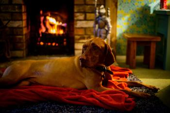 Adult Yellow Labrador Retriever Lying on the Red Textile