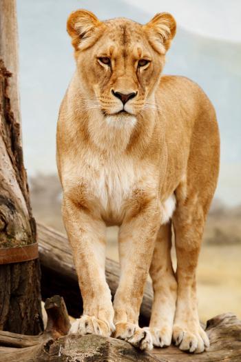 African Cat