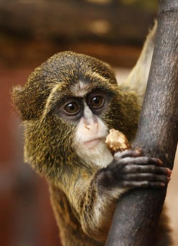 African Monkey