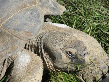 Aged Tortoise