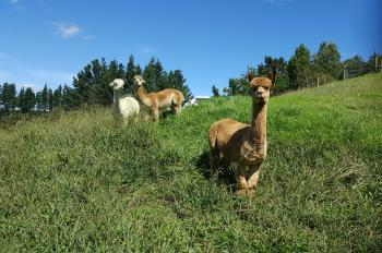 Alpacas at Mangemangeroa