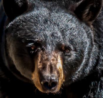American black bear male adult