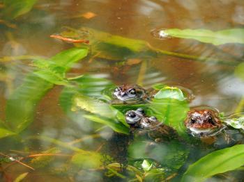 Amphibians southern toads breeding Mazarick Park ncwetlands KG (2)