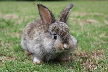 An alert baby bunny