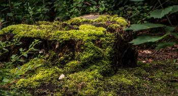 An old stump overtaken by moss