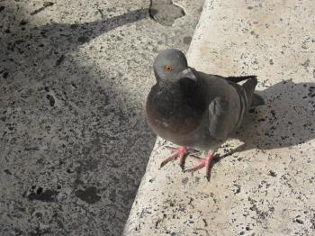 An urban dove