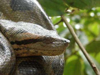 Anaconda in Tree