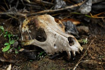Animal Skull in the Wild