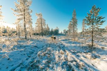 Animals Walking on Snow Covered Forest
