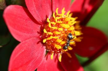 Ant on the Flower