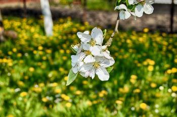 Apple blossom in the garden