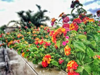 Assorted-color Lantana Flowers Lined