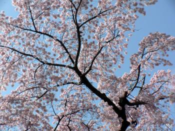 Awesome pink cherry blossom branch