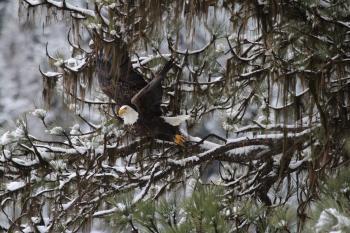 Bald Eagle Takingoff