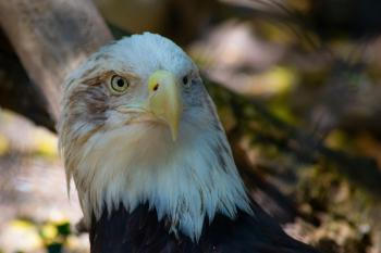 Bald eagle watches deep away intently