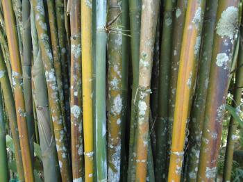 Bamboo with fungus