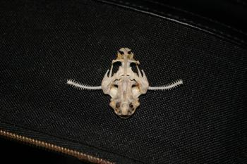 Banjo catfish skull (Bunocephalus coraco