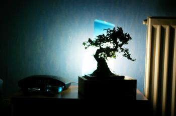 Banzai tree in the room