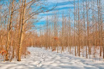 Bare Winter Tree Trail - HDR