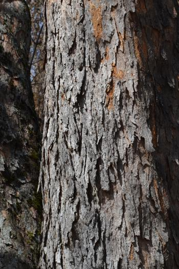 Bark of sycamore maple