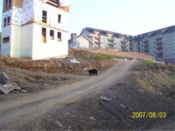 Bear In Construction Zone