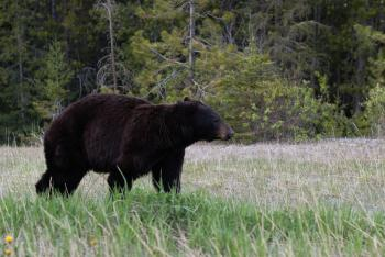 Bear - National Park (1)