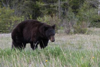 Bear - National Park (2)