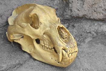 Bear Skull Close-up - HDR