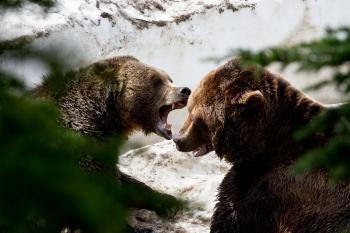 Bears in Grouse mountain