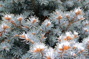 Beautiful coniferous plant in the forest