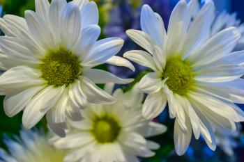 Beautiful flowers of chamomile with long petals