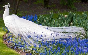 White peacock bird