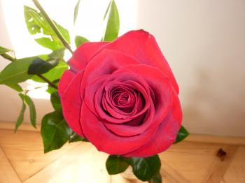 Beautiful Rose in a Vase