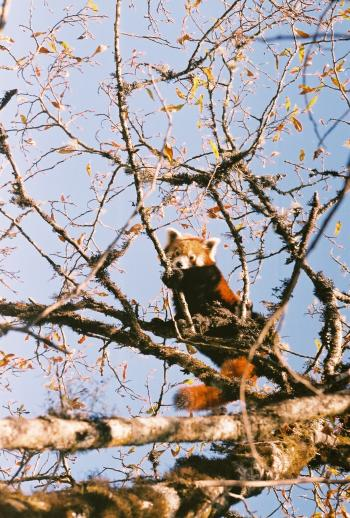 Beautiful Wild Red Panda