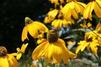Honeybee & Daylily