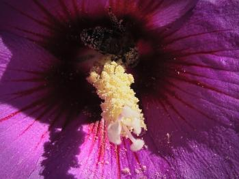 Bee inside a hibiscus