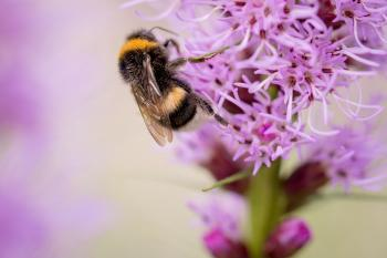 Bee on Liatris Spicata