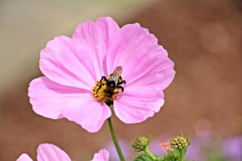 Bee on the Cosmo