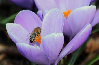 Bee on the Crocus