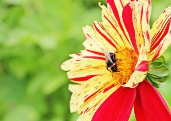 Bee on  the Dahlia