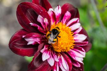 Bee on the Dahlia