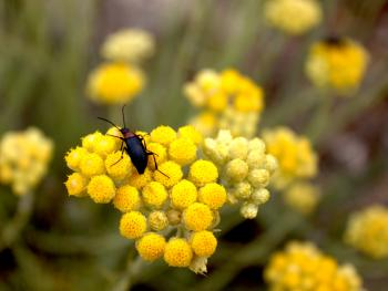 Beetle sits on yellow flower