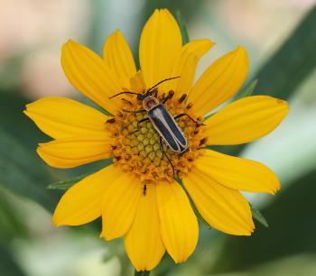 BEETLE, sp (maybe Chauliognathus sp) (9-4-11) upper humbolt cyn, scc, az -02